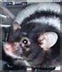 Oreo the Mouse