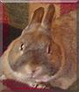 Rebecca Da Bunnay the Dwarf Rabbit