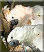 Cameo and Charmin the Umbrella Cockatoos