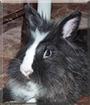 Bobby the Lionhead Bunny