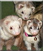 Punkin, Pittypat, Scooter the Ferrets