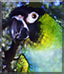 Silk the Nanday Conure