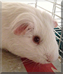 Snowy the Guinea Pig