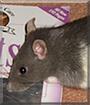Miep the Fancy Rat