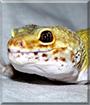 Cloud the Leopard Gecko