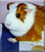 Kahlua the Guinea Pig