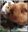 Nacho and Lupe the Guinea Pigs