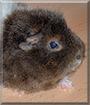 Schäfchen the Rex Guinea Pig