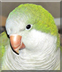 Puffers the Quaker Parrot