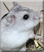 Molly the Dwarf Hamster