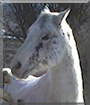 Tao the Arabian/Quarter Horse cross