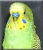 Sweetpea the Parakeet