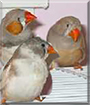 Peaches, Cream Cheese, and Biscuit the Zebra Finches