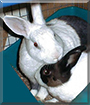 Hailey and Rafiki the Dutch mix Rabbits