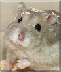 Kit the Dwarf Hamster