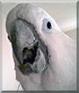 Willy the Umbrella Cockatoo