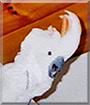JJ the Mollucan Cockatoo