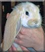 Kilo the English Lop Rabbit