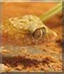 Maja the Thinfinger Gecko