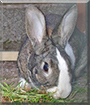 Nibbles the Dutch Rabbit