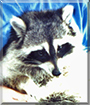 Chubietta the Raccoon