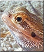 Loki the Bearded Dragon