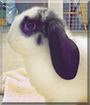 Buttons the Dwarf Lop Rabbit
