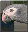 Charlie the Timneh African Gray