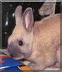 Oliver the Netherland Dwarf Rabbit