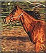 Lady the American Saddlebred