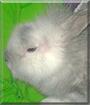Fluffy the Lionhead Rabbit cross