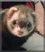Penelope the Ferret