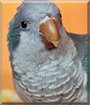 Karlik the Quaker Parrot