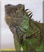 Oliver the Giant Green Iguana