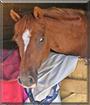 Minnie the British Riding Pony
