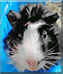 Michi the Guinea Pig