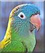 Gilbert the Blue Crowned Conure