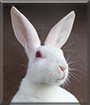 Ghost the Belgian Hare