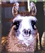 Shoshanah the Llama