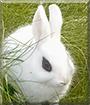 P2 the Dwarf Hotot Rabbit