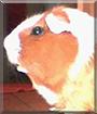 Goldi the Guinea Pig