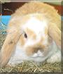 Flecki the Lop Rabbit