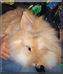 Puschel the Lionhead Rabbit