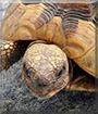 Phillip the Tortoise