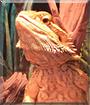 Ozzie the Bearded Dragon
