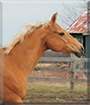 Shane the Quarter Horse, Arabian cross