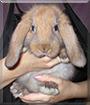 Honey the Holland Lop Rabbit
