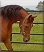 Dante the Quarter Horse
