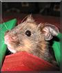 Pepper the Syrian Hamster