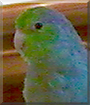 Dudley the Parrolet